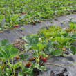 Stock Photo: Strawberry Field Patch