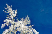 Tree Covered in Snow with Blue Sky — Stock Photo