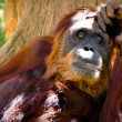 Orangutan — Stock Photo #9938744