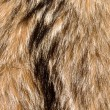 Raccoon Fur Background - Stock Photo