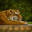 Fierce Striped Tiger Gazing forward — Stock Photo #9938862