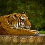 Fierce Striped Tiger Gazing forward — Stock Photo #9938862