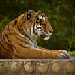 Fierce Striped Tiger Gazing forward — Stock Photo