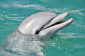 Dolphin Smiling Close Up — Stock Photo