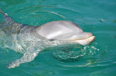Dolphin Smiling Close Up in Water — Stock Photo