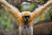 Gibbon — Stock Photo