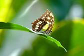 Malachit kelebek yakın çekim yağmur ormanları — Stok fotoğraf