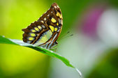 Malachit Butterfly Close Up in Rainforest — Stock Photo