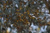 Monarchs — Stock Photo