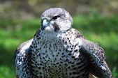 Peregrine Falcon — Foto de Stock