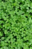 Green Clover Shamrock Background — Stock Photo