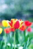 Spring tulip — Stock Photo