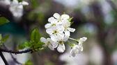 Blossom cherry — Stock Photo