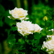 Beautiful rose — Stockfoto