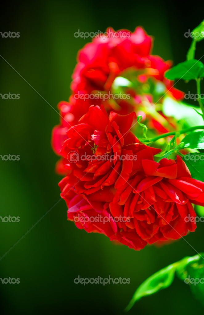White, red roses — Stock Photo #10712186