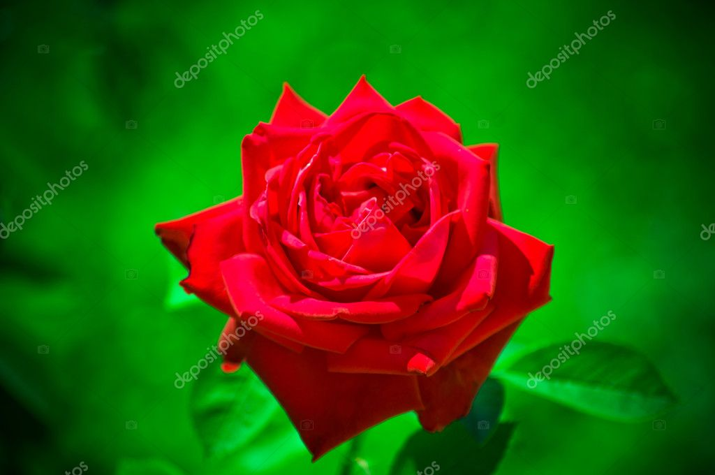 White, red roses  Stock Photo #10712231