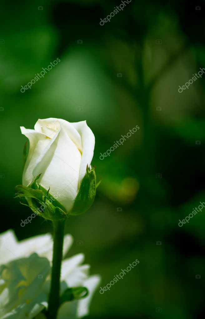 White, red roses  Stock Photo #10712346