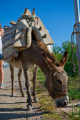 Donkey for a walk — Stock Photo