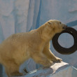White bear play with tire — Stock Photo