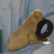 White bear with tire — Stock Photo