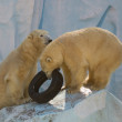 Two white bears plaing with tire — Stock Photo