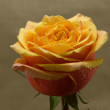 Beauty orange rose - Stock Photo