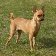 Miniature Pinscher 1 year old - Stock Photo