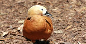 Duck - Ruddy Shelduck — Stock Photo