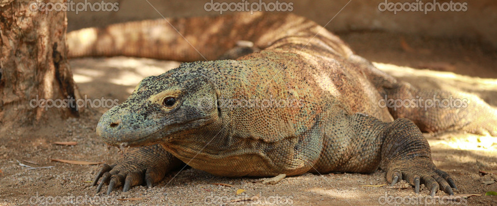 Komodo Dragon sitting on the ground with shade and sun  Stock Photo #10181935