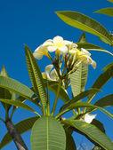 Bali flowers — Stock Photo