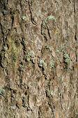 Struktura kory drzewa — Zdjęcie stockowe