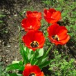 Stock Photo: Spring tulips