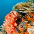 Red soft coral — Stock Photo