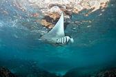 Manta Ray — Foto de Stock