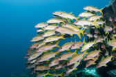 Yellow striped goatfish — Stock Photo