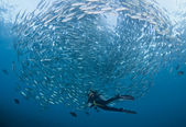 Diver with a school of Jacks — Stock Photo