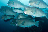 Bumphead Parrotfish — Stock Photo