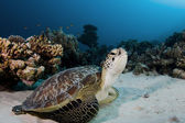 Green Turtle — Stockfoto