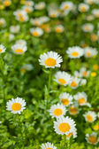 A Daisy in the flowers of Daisy — Stock Photo