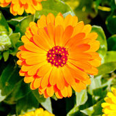 Orange and yellow chrysanthemum — Stock Photo