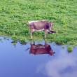 Stock Photo: Cow reflecting