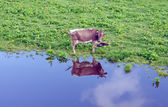 Cow reflecting — Stock Photo