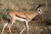 Young springbok — Stock Photo