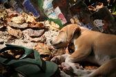 Island Dog's Siesta. — Stock Photo
