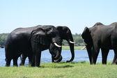 Elephants in Chobe — Stock Photo