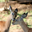 Bambi Kiss — Stock Photo