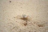 Pallid Ghost Crab — Stock Photo