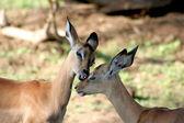 Bambi Kiss — Stock Photo