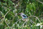 Woodland Kingfisher — Stock Photo