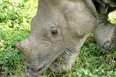 Indian Rhinoceros — Stock Photo